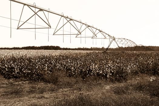 Georgia cotton fields