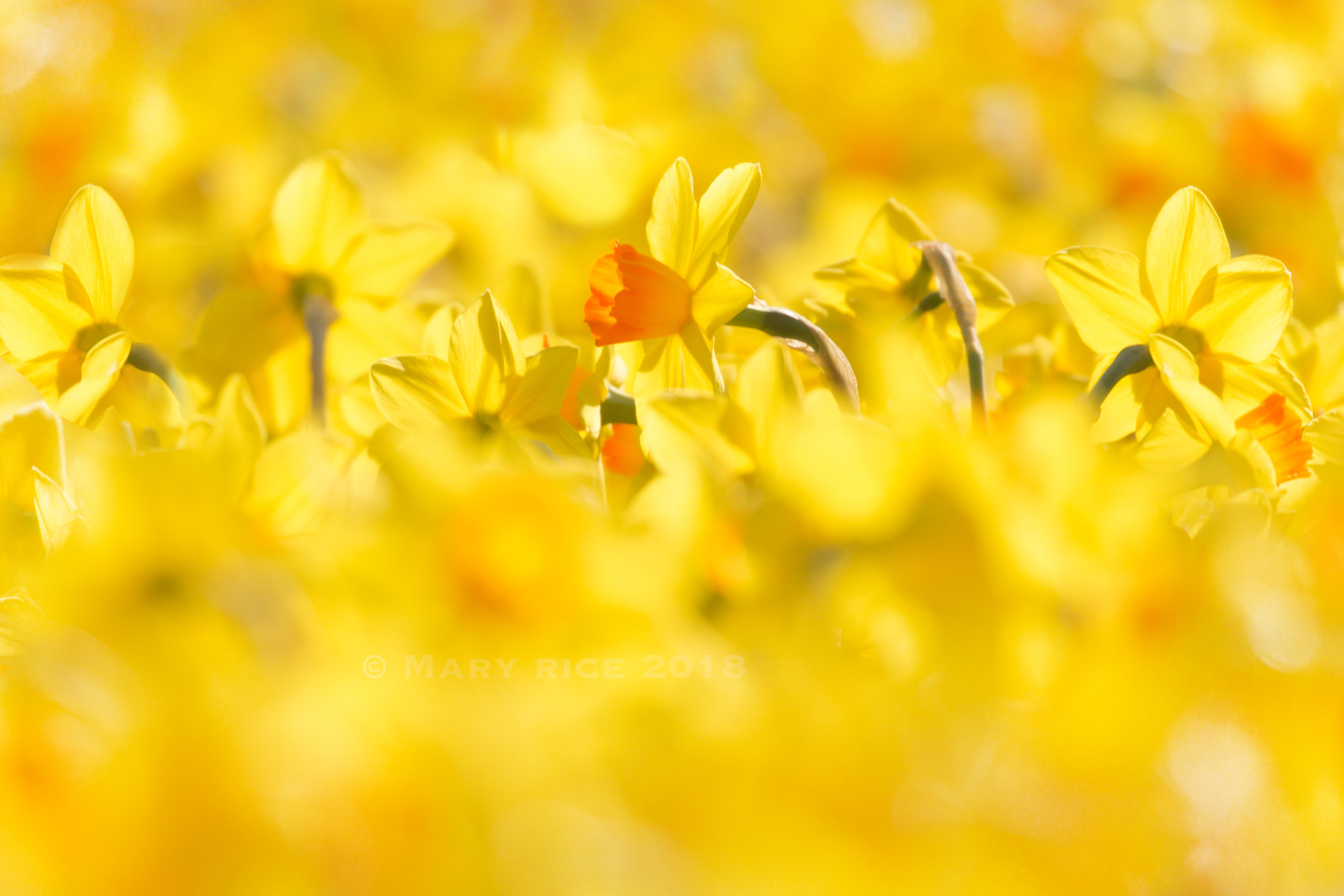 daffodilsw2