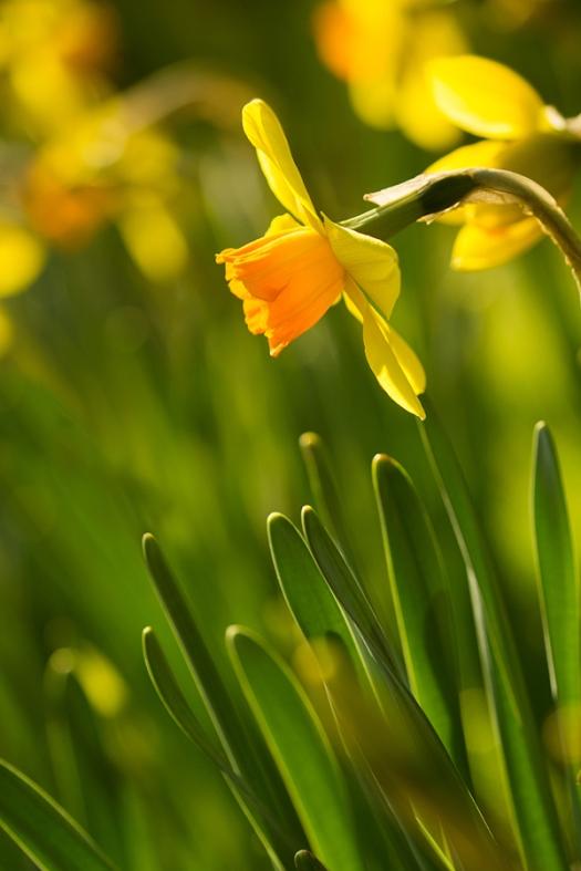 the lone daffodil