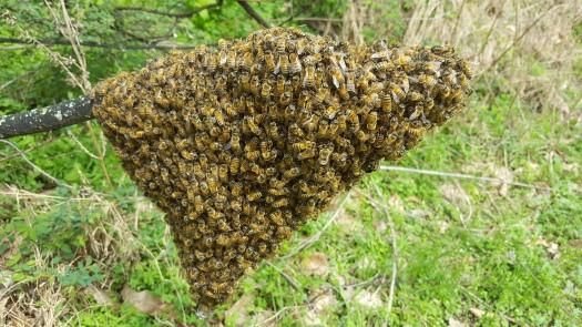 Farm bee swarm (3)