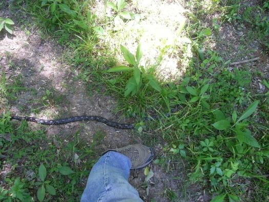 Farm mule snake